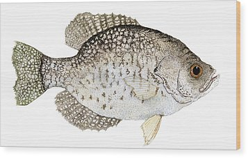 Study Of A Black Crappie Wood Print