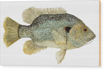 Study Of A Green Sunfish Wood Print by Thom Glace