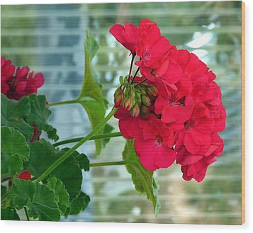 Stunning Red Geranium Wood Print by Will Borden