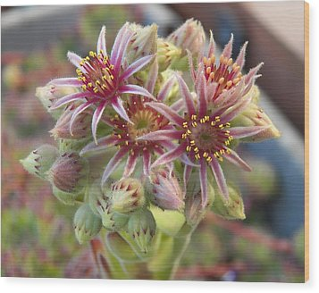 Succulent Cactus Wood Print by Laurie Kidd