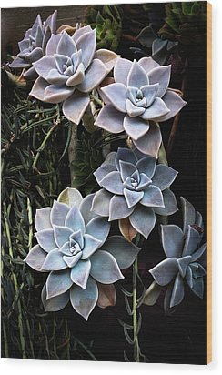 Succulents Graptopetalum Paraguayense     Wood Print by Catherine Lau