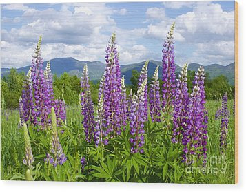 Sugar Hill Lupines Wood Print by Alice Mainville