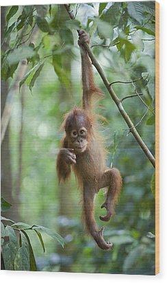 Sumatran Orangutan Pongo Abelii One Wood Print by Suzi Eszterhas