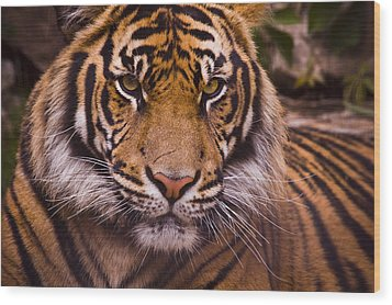 Sumatran Tiger Wood Print by Chad Davis