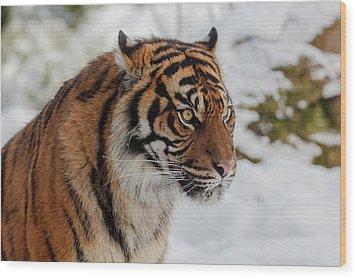 Sumatran Tiger In The Snow Wood Print