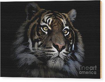 Sumatran Tiger Wood Print by Avalon Fine Art Photography