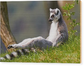 Sun Bathing Ring-tailed Lemur  Wood Print