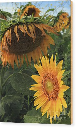 Sun Flowers  Past  And  Present  Wood Print