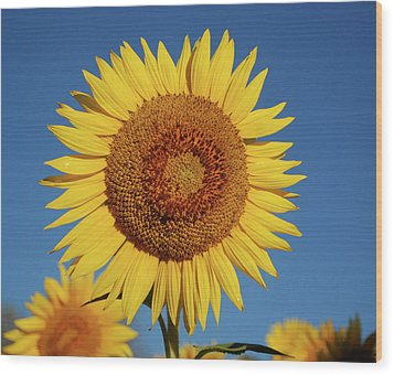 Sunflower And Blue Sky Wood Print