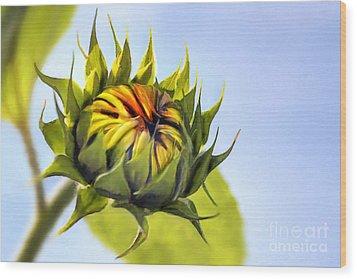 Sunflower Bud Wood Print by John Edwards