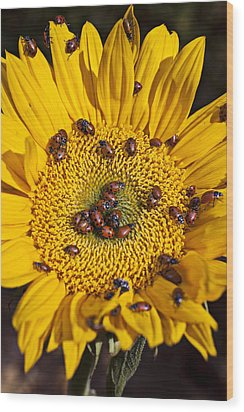 Sunflower Covered In Ladybugs Wood Print by Garry Gay