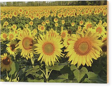 Wood Print featuring the photograph Sunflower Faces by Ann Bridges