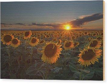 Sunflower Field - Colorado Wood Print by Lightvision, LLC