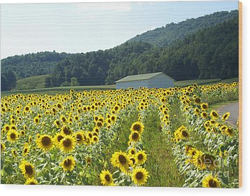 Sunflower Field Wood Print by Annlynn Ward