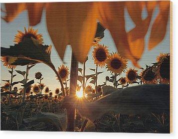 Sunflower Field Wood Print by Floriana Barbu
