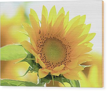 Sunflower In Golden Glow Wood Print