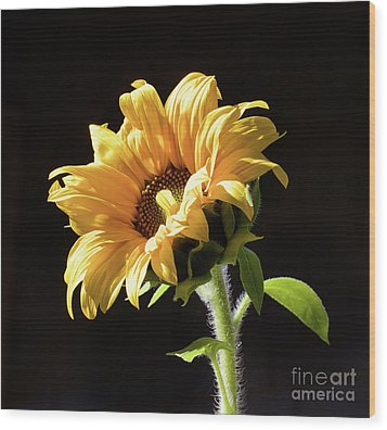 Sunflower Isloated On Black Wood Print