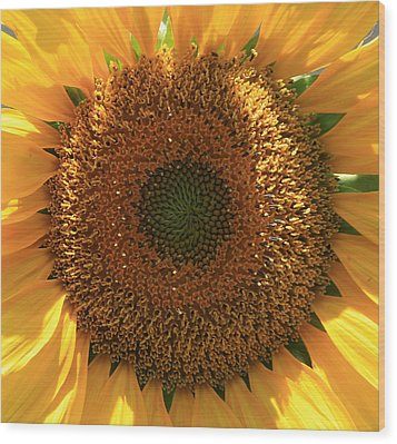 Sunflower  Wood Print by Marna Edwards Flavell