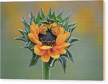 Sunflower Opens Wood Print by Emerald Studio Photography