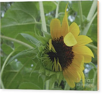 Sunflower Rising Wood Print