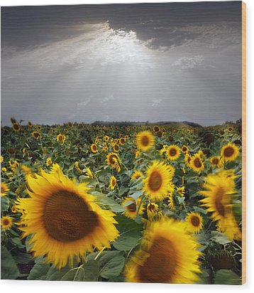 Sunflower Taking A Bow Wood Print by Floriana Barbu