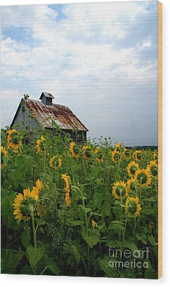 Sunflowers Along Rt 6 Wood Print