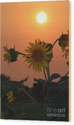 Sunflowers At Sunset Wood Print