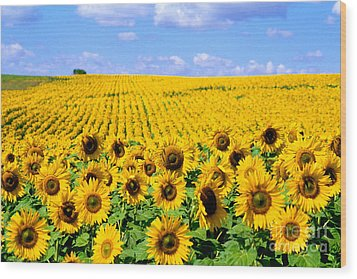Sunflowers Wood Print by Bill Bachmann and Photo Researchers