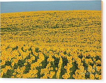 Sunflowers Galore Wood Print by Catherine Sherman