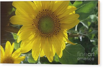 Sunflowers-just Bloomed Wood Print
