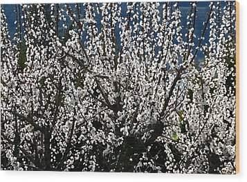 Sunlit Apricot Blossoms Wood Print by Will Borden
