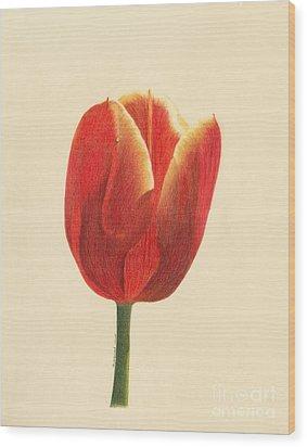 Sunlit Tulip Wood Print