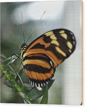 Sunrise Butterfly Wood Print by Jean Haynes