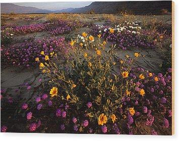 Sunrise On Desert Wildflowers Wood Print by Tim Laman