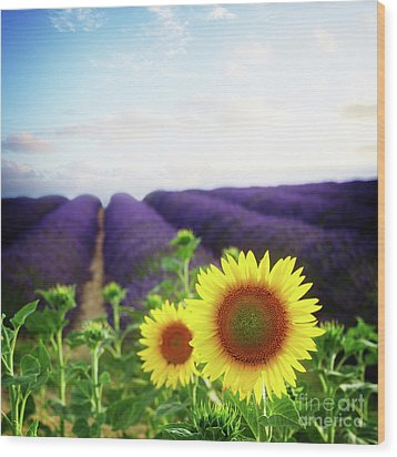 Sunrise Over Sunflower And Lavender Field Wood Print