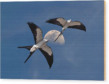 Swallow Tail Kites In Flight Under Moon Wood Print