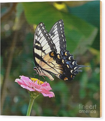 Swallowtail Butterfly 3 Wood Print by Sue Melvin