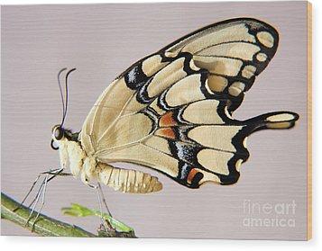 Swallowtail Butterfly Wood Print by Julia Hiebaum