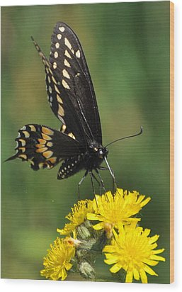 Swallowtail On Putney Mt. Wood Print by Gerald Hiam