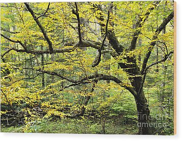 Swamp Birch In Autumn Wood Print by Thomas R Fletcher