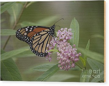 Swamp Milkweed Monarch Wood Print by Randy Bodkins