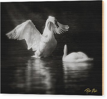 Swan Display Wood Print by Rikk Flohr