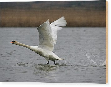 Swan During Take Off Wood Print