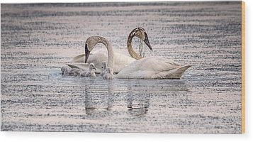 Swan Family Wood Print by Kelly Marquardt