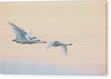 Wood Print featuring the photograph Swan Migration  by Kelly Marquardt