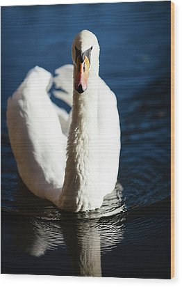 Swan Posing Wood Print