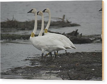 Swans Line Dancing Wood Print by Ron Read