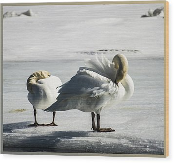 Swans On Ice Wood Print