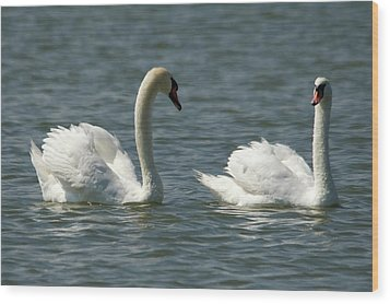 Swans On Lake  Wood Print by Cliff Norton
