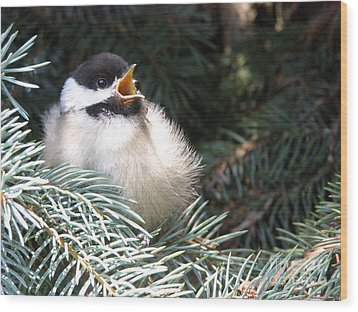 Sweet Chickadee Wood Print by Angie Rea